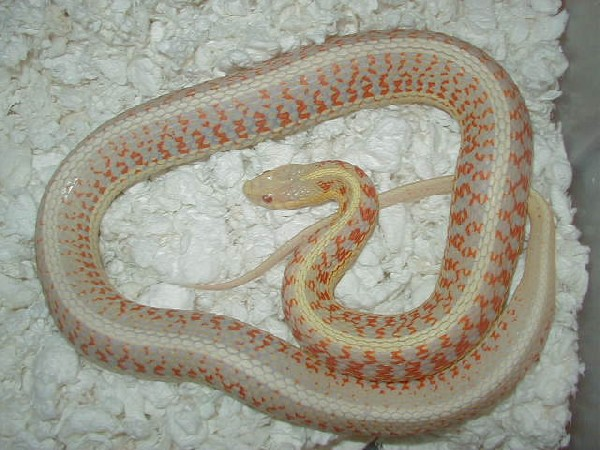 04 24 2008 6 Red Sided albino adult female gravid